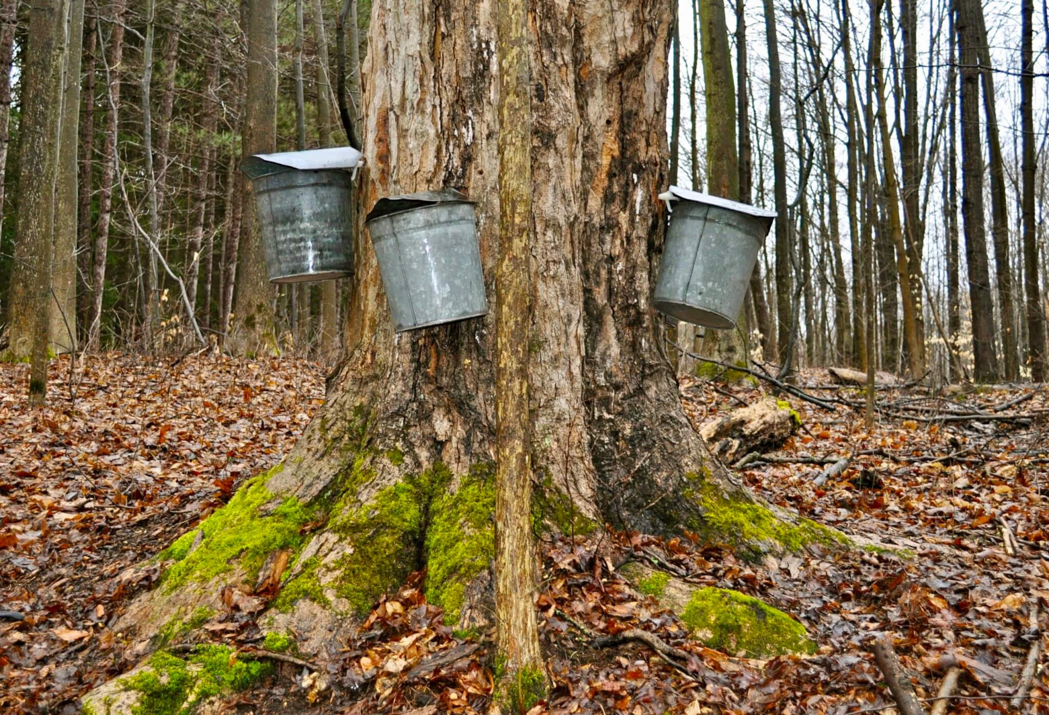 """Early every spring, on a family farm in Lander, Pennsylvania, friends of ours engage in the annual tradition of """"sugaring."""" The labor of love requires hand-drilling their Maple trees, removing hundreds of gallons of sap, boiling it down, to be rewarded with a sweet, sticky condiment that goes far beyond pancakes."""