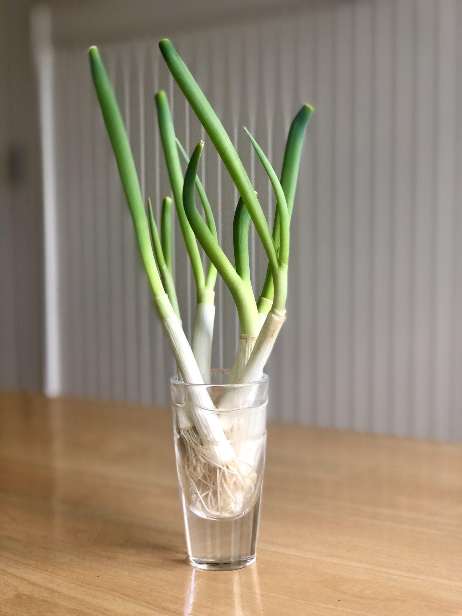How to regrow scallions