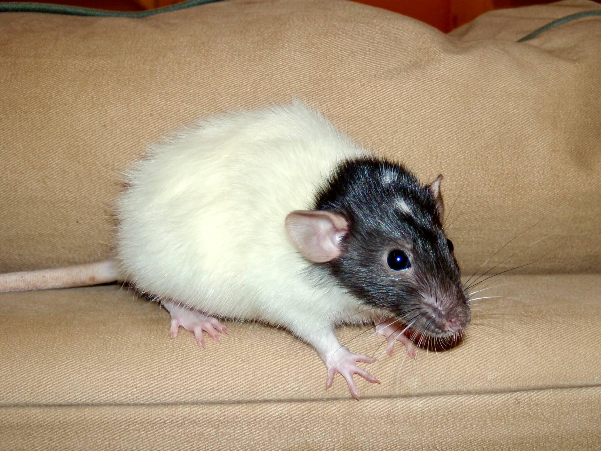 Macy the friendly rat